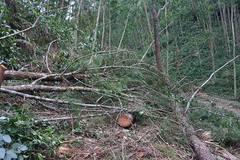 Huế: Cán bộ QLBV rừng tiếp tay cho 'lâm tặc', khởi tố 10 đối tượng chặt phá 55 cây thông