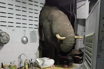 Voi đập tường, chui vào bếp nhà dân tìm thức ăn