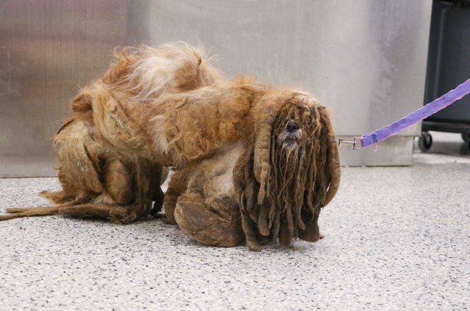 Màn lột xác ngoạn mục của chú chó mang trên người 3 kg lông xù