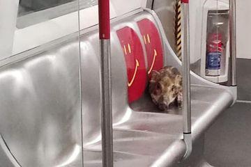 Lợn rừng chạy toán loạn trên tàu điện ngầm ở Hong Kong
