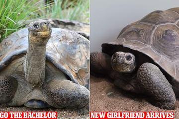 Cuộc gặp gỡ giữa cụ rùa 70 tuổi và 'bạn gái' 21 tuổi