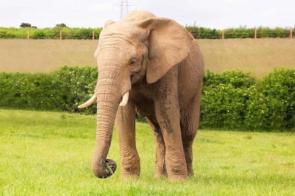 Voi chết thảm trong vườn thú ở Anh vì bị đồng loại tấn công