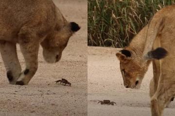 Sư tử chạm trán cua như gặp sinh vật ngoài hành tinh, lẽo đẽo đi theo, chăm chú nhìn