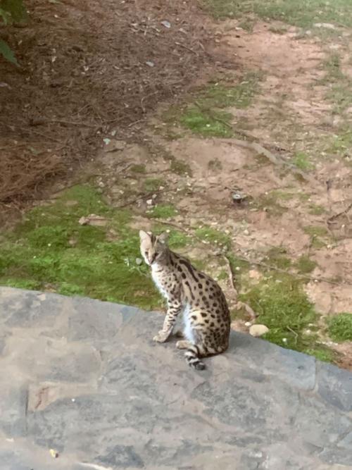 mèo hoang châu phi