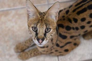 Mở mắt thức dậy, người phụ nữ giật mình phát hiện con mèo hoang ngồi chình ình ở đầu giường