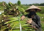 Lội sông cắt cây dại mọc tràn lan, nông dân 'gãi ngứa' kiếm tiền ngày nông nhàn