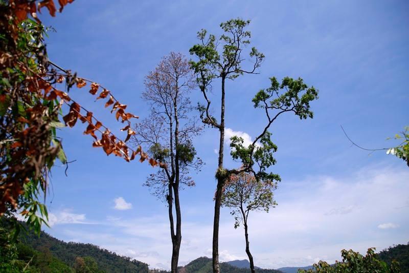 Quảng Nam: Thêm một người tử vong khi trèo cây hái hạt ươi