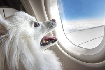 Chó mèo được đi du lịch, ngồi bên cạnh chủ nhân trong khoang hành khách