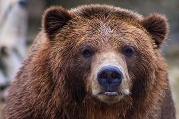 Gấu mò vào trong lều cắm trại, lôi người phụ nữ ra ngoài tấn công đến chết
