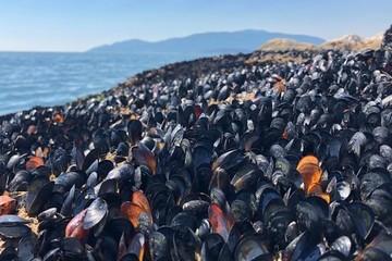 Một tỷ sinh vật biển chết nằm la liệt trên bãi biển vì nắng nóng kỷ lục ở Canada