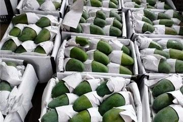 """Cấp văn bằng bảo hộ cho nhãn hiệu """"Xoài Sơn La"""", 25 tấn xoài được xuất khẩu sang Australia"""