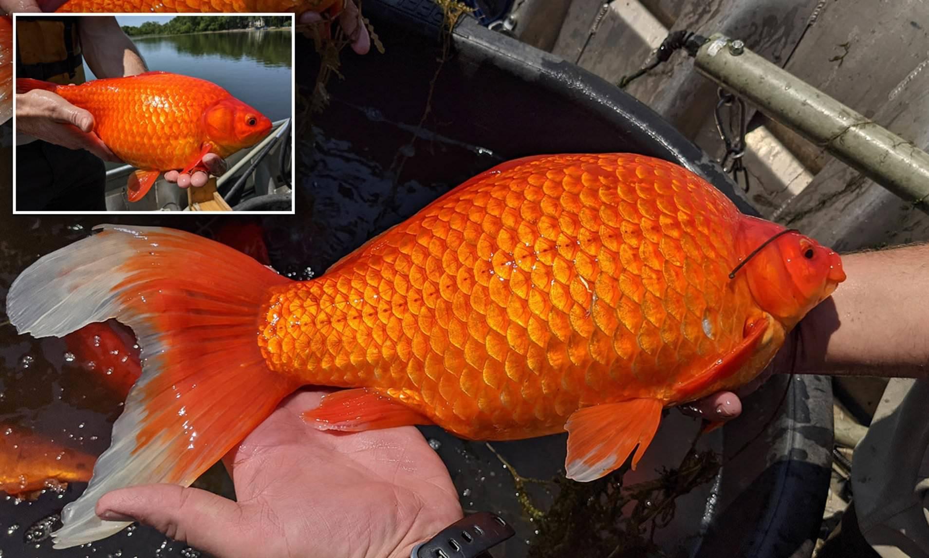 Choáng vì cá vàng 30 cm xuất hiện trong hồ tự nhiên