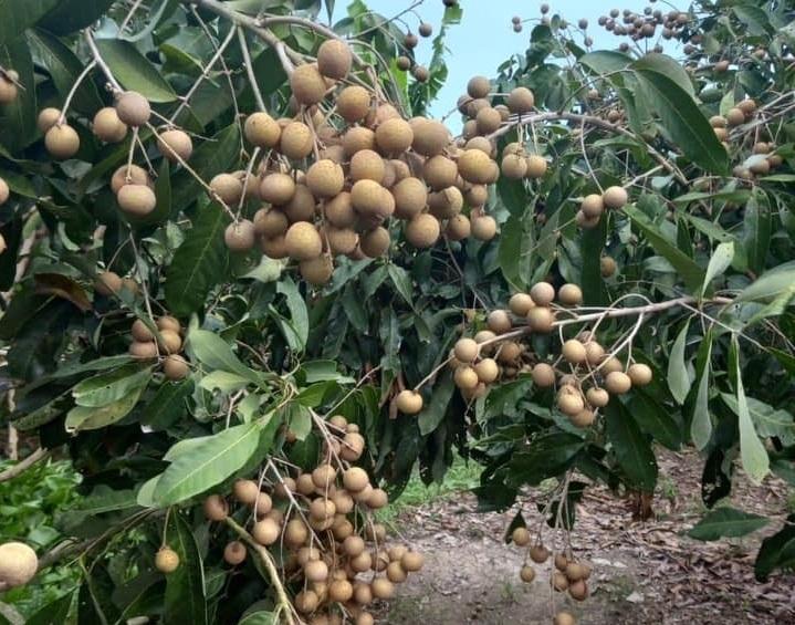 Hưng Yên tìm đường xuất ngoại cho nhãn lồng, thương hiệu trái cây nổi tiếng nhất Việt Nam