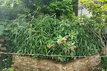 Thanh Hóa: Mua hạt giống cần sa về gieo trồng trong vườn nhà