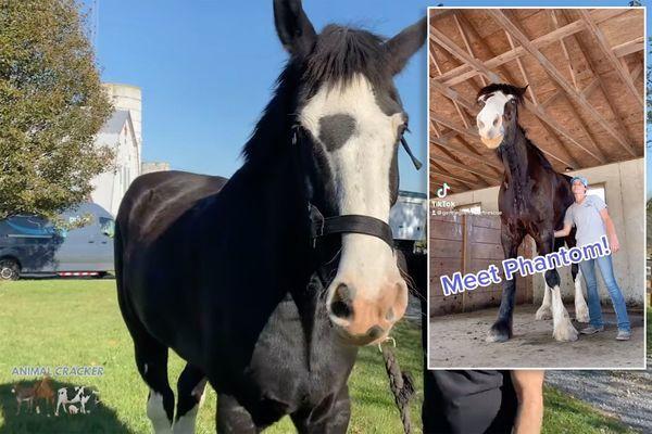 Choáng ngợp với chú ngựa cao hơn 2 mét, người huấn luyện phải vất vả mới trèo lên được