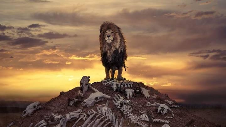 Bức ảnh sư tử kiêu hãnh đứng trên đồi toàn xương như cảnh quay 'kinh điển' trong phim Hollywood