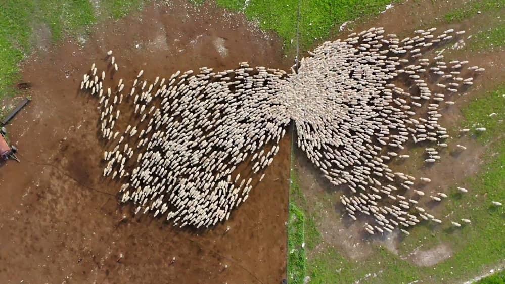 Khoảnh khắc ngoạn mục về đàn cừu nghìn con di chuyển trên cánh đồng