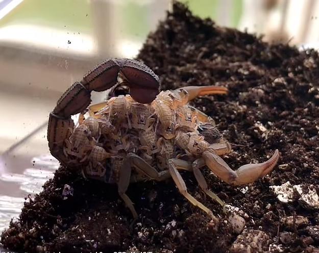 Hình ảnh tuyệt đẹp bọ cạp nâu chuyển màu xanh tím dưới tia UV