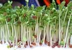 Cách trồng rau mầm, phân biệt loại ăn được và loại có độc