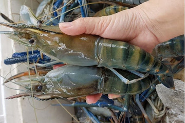 Hải sản tôm càng xanh, cá thát lát... miền Tây rớt giá mạnh