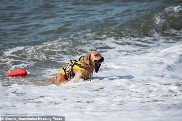 'Chú chó cứu hộ' phiên bản đời thực, luyện tập để giải cứu người đi biển