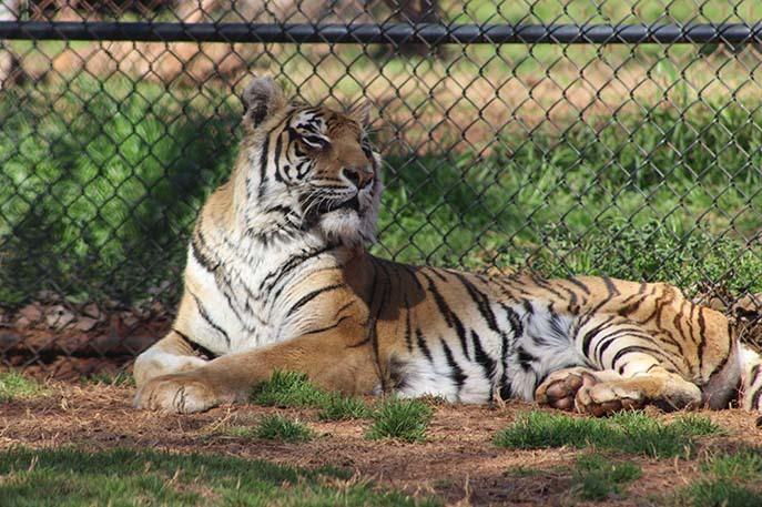 Con hổ sống lâu nhất thế giới sống trong khu bảo tồn, ăn bằng 'đĩa bạc', có hồ bơi riêng