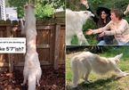 Điều đặc biệt gì khiến chú chó nổi tiếng này được gọi là huơu cao cổ, khủng long