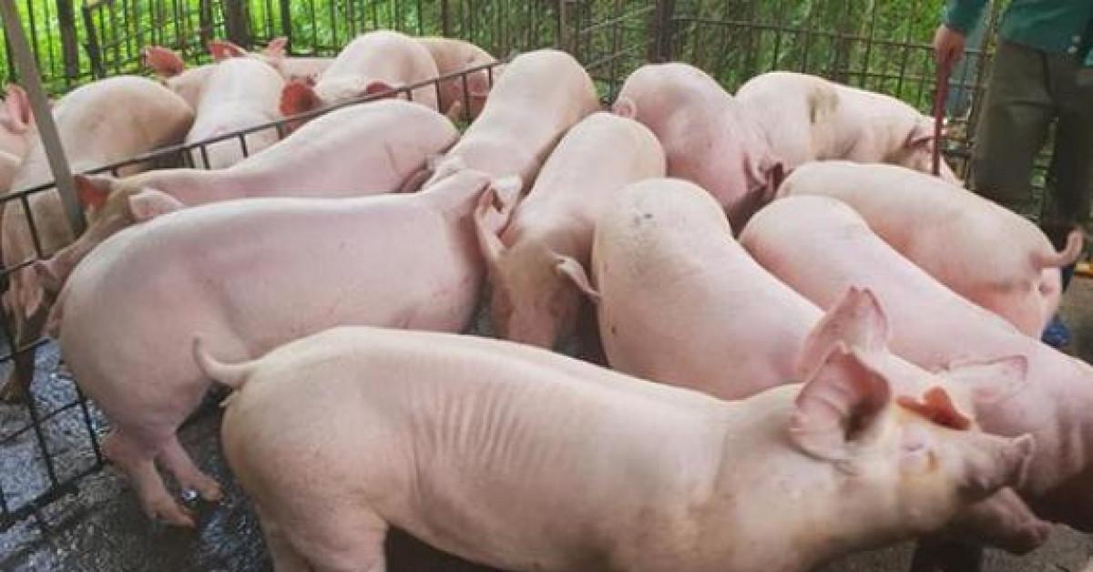 Giá lợn hơi,Giá thịt lợn,Giá cám,Giá thức ăn chăn nuôi