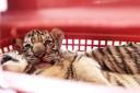 Nghệ An: Bắt 2 đối tượng vận chuyển 7 cá thể hổ đi tiêu thụ