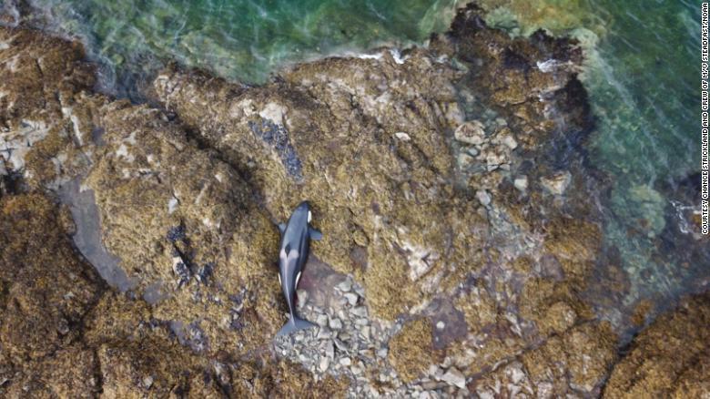 Cá voi sát thủ mắc cạn trên bãi đá và quá trình giải cứu suốt 6 tiếng đồng hồ