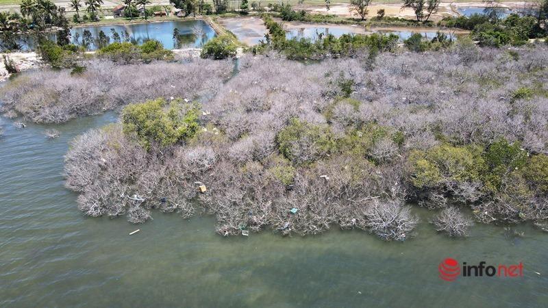 Quảng Nam: Rừng ngập mặn chết khô không rõ nguyên nhân