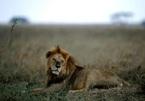 Sư tử tấn công trên đường từ trường về nhà, 4 học sinh thương vong