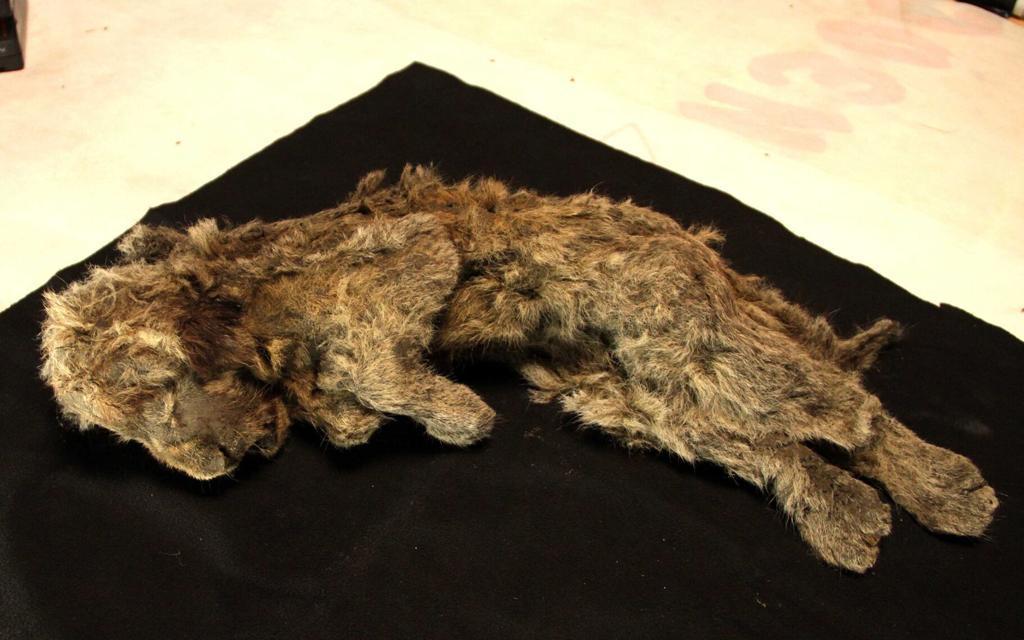 Bí ẩn xác ướp sư tử cách đây 28.000 năm còn nguyên nội tạng, lông