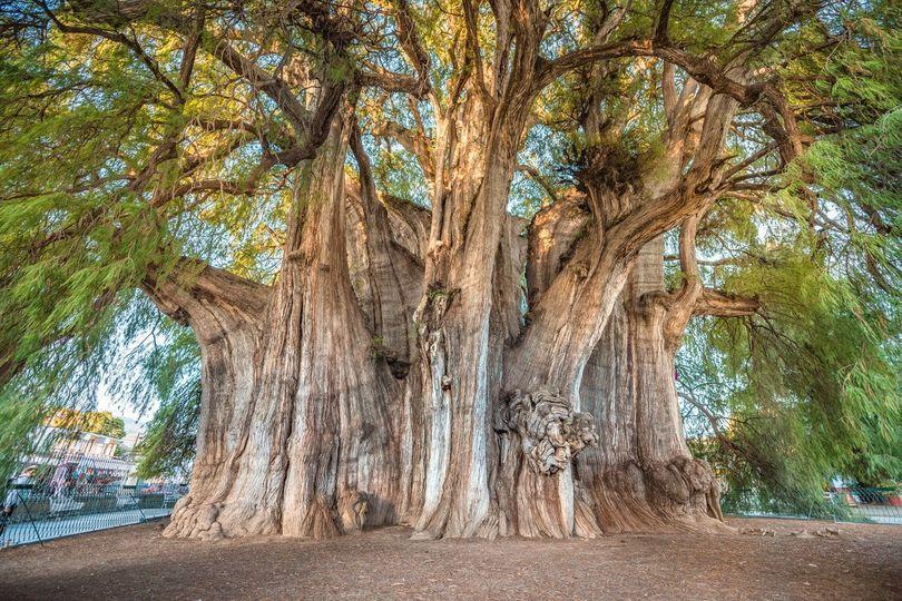 Cây khổng lồ nghìn năm tuổi ở Mexico, 30 người ôm không xuể