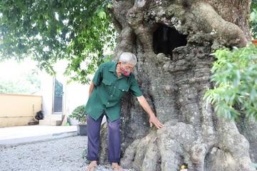 Ngắm cây thị gần 500 tuổi vẫn xanh tươi, gốc 4 người ôm, quả chín thơm ngào ngạt