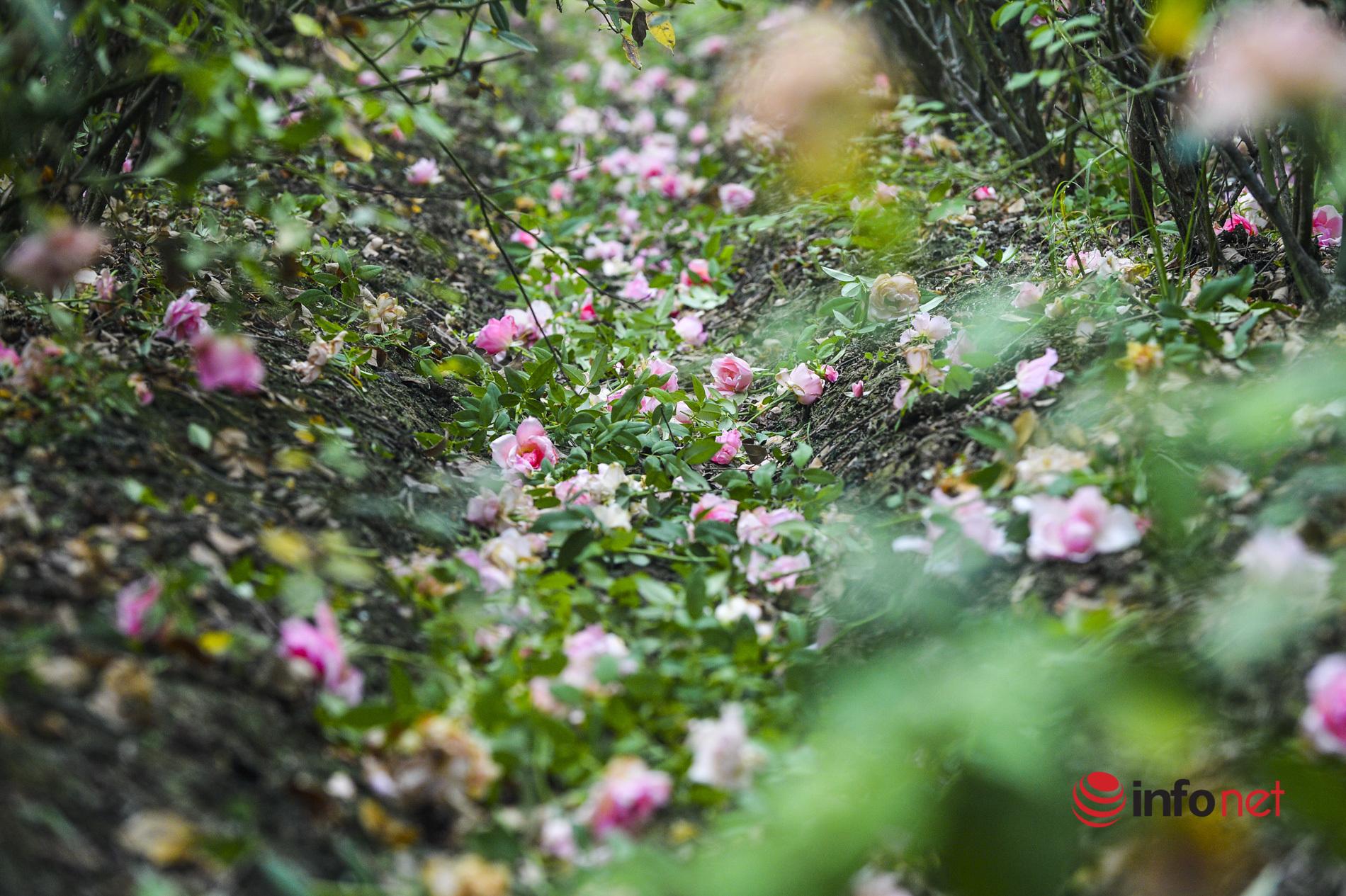 Làng hoa Hà Nội ngậm ngùi cắt bỏ hoa trong tháng 'hái ra tiền'