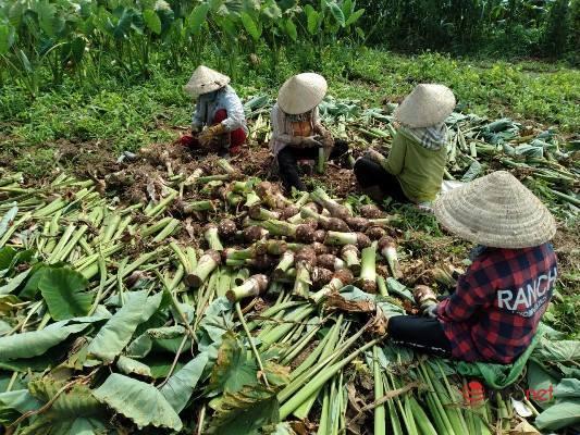Đắk Lắk: Gần 100 tấn khoai môn 'tắc' đầu ra, huyện kêu gọi 'giải cứu'