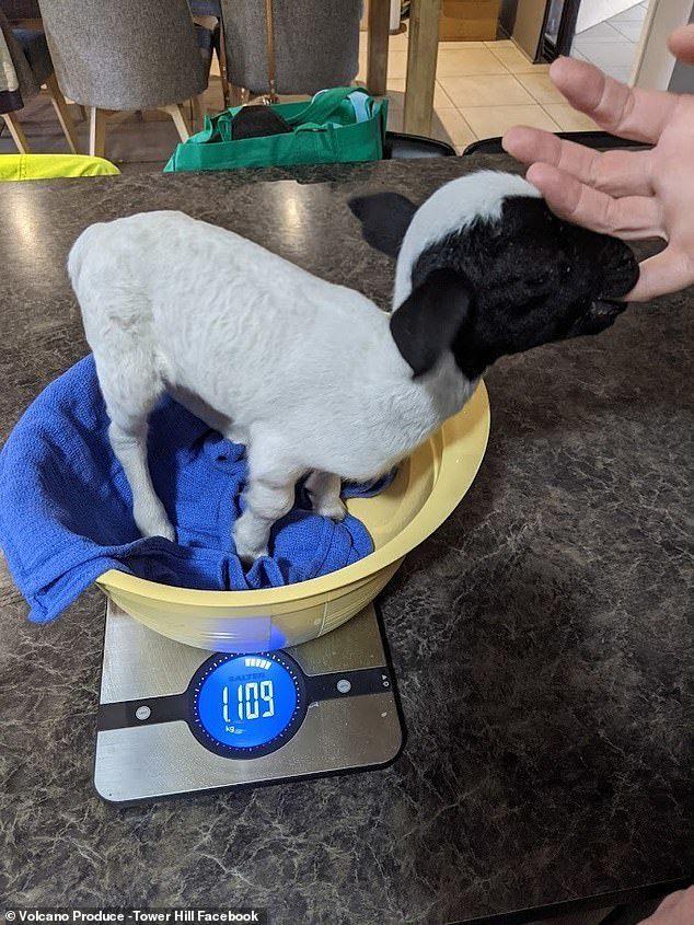 Cừu sinh ra chỉ nặng 900 gram, dài bằng một lon nước ngọt