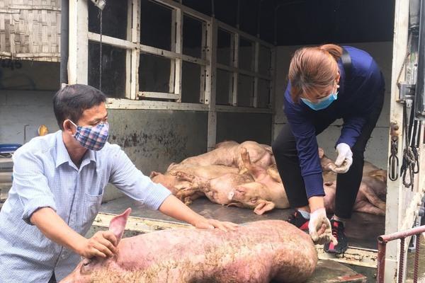 Vận chuyển 1 tấn lợn nhiễm dịch tả lợn châu Phi mang đi bán