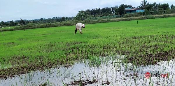 'Mưa vàng' trút xuống Buôn Mê Thuột, nông dân trút gánh lo dẫn 'vòi rồng' tưới nước cho lúa