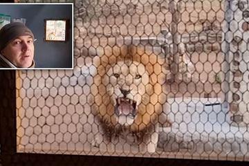 Khoảnh khắc dựng tóc gáy khi sư tử gầm thét dọa chủ nhà qua cửa sổ nhà bếp