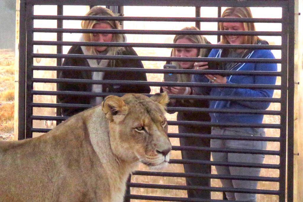Chụp cận mặt những con sư tử châu Phi, trải nghiệm cho những ai ưa mạo hiểm