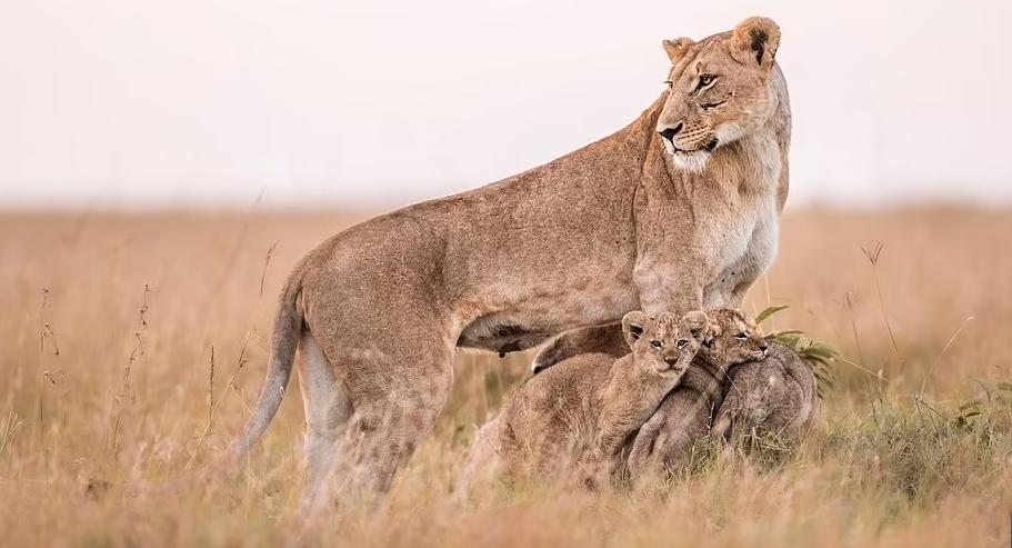 châu phi,sư tử