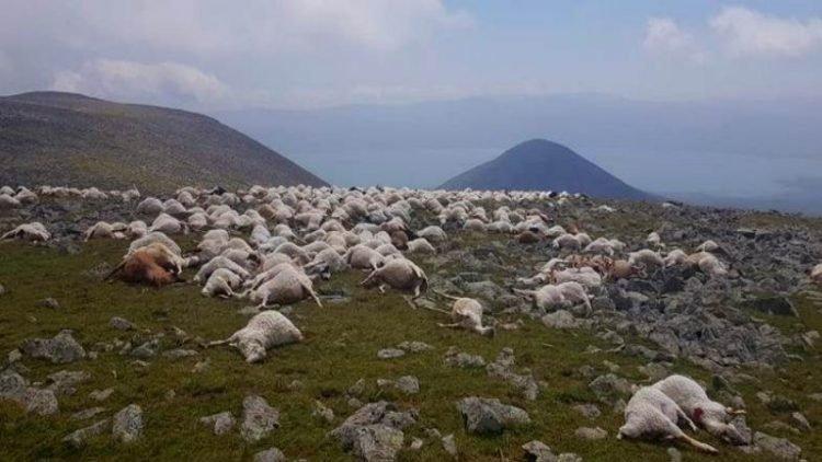 Đàn cừu hơn 500 con chết đồng loạt vì sét đánh