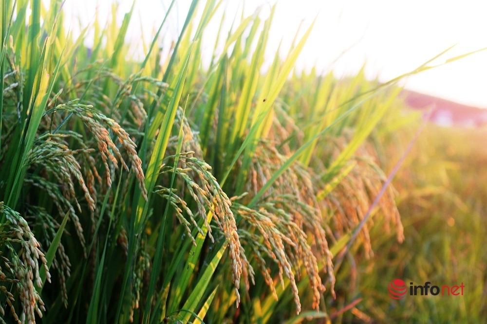 Nông dân vùng giãn cách Nghệ An tất bật thu hoạch lúa sớm vừa chạy bão, vừa bảo đảm phòng dịch
