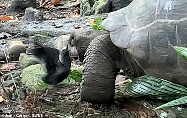 Rùa tấn công đoạt mạng chim nhạn trong chớp mắt