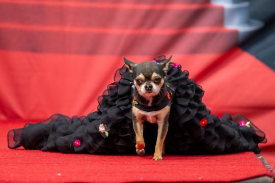 Thú vị cuộc thi sắc đẹp của những chú chó chihuahua ở Anh