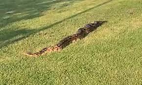 Khoảnh khắc kinh hoàng con trăn khủng dài hơn 4 mét tự do đi lại trong công viên