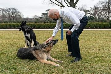 Chó cưng của ông Biden được đưa đi huấn luyện vì lại cắn người