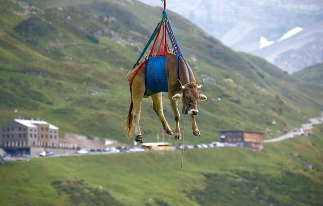 Dùng trực thăng di chuyển bò ở Thuỵ Sĩ
